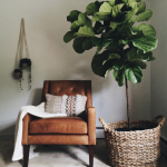 A leather chair with a blanket draped over it and a fiddle leaf fig next to it.